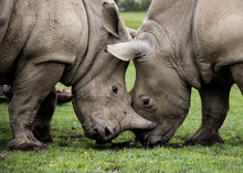 Two Rhinoceros Fighting In Wil...