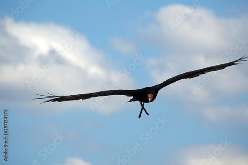 Fényképezés Urubu à tête rouge en vol