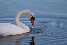 Photo Of A White Swan Looking ...