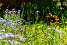 Telluride, Colorado Small Town Mountain Village In Summer 2019 With Many Wildflowers Growing In Meadow Including Purple Blue Alpine Daisy And Blanketflower