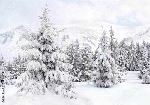 Foto auf Gartenposter Weiß Winter landscape of mountains with of fir forest in snow. Carpathian mountains. Ukraine