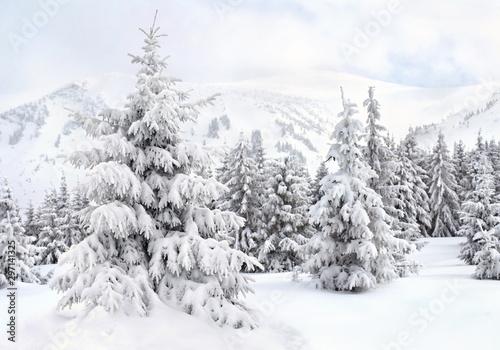 Montage in der Fensternische Weiß Winter landscape of mountains with of fir forest in snow. Carpathian mountains. Ukraine