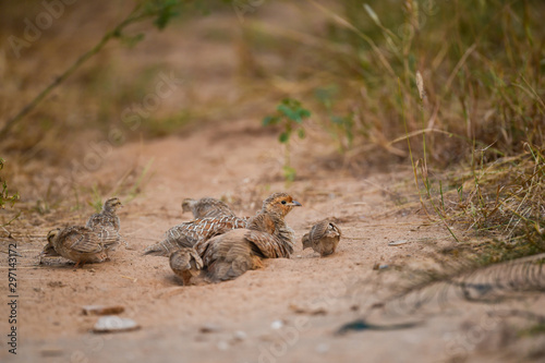 Fotografia grey francolin or grey partridge or Francolinus pondicerianus family with chicks