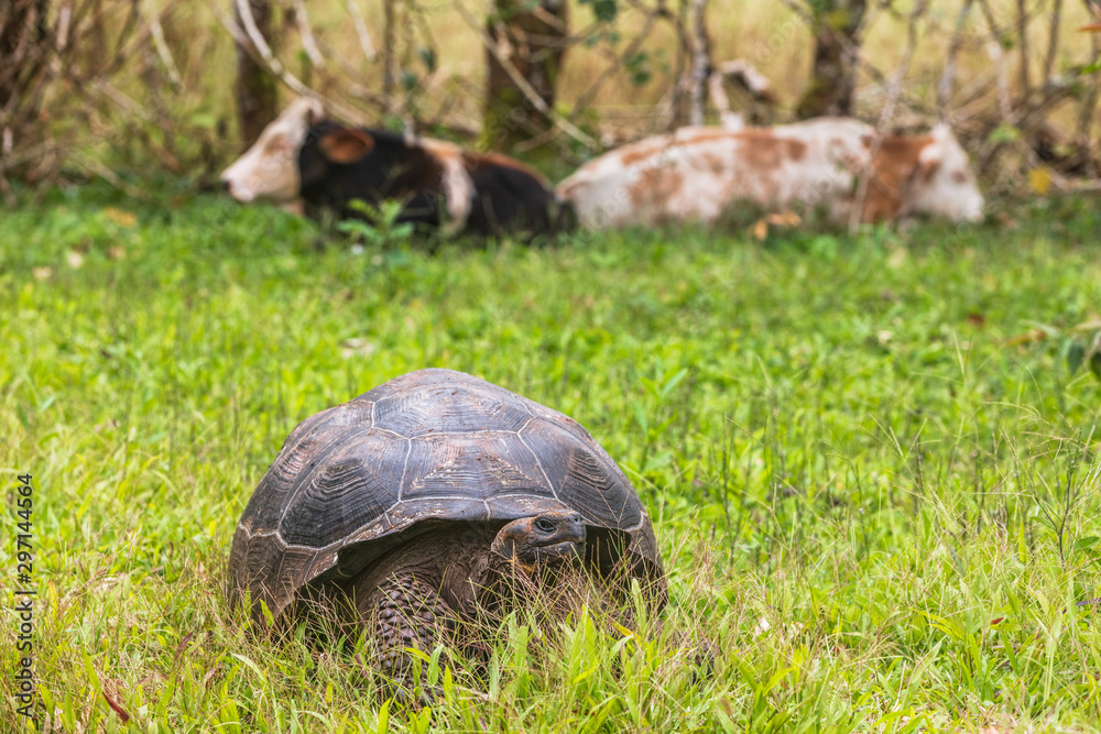 Galapagos Giant Tortoise and cows on farm on Santa Cruz Island in Galapagos Islands. Amazing animals, nature and wildlife video from Galapagos highlands.
