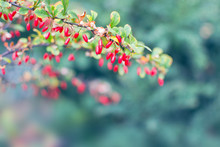 Branch With Barberries At Autumn