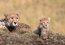 Adorable Young Cheetah Cub Sitting On A Large Mound With Its Protective Mother Watching Over It Intently.  Image Taken In The Maasai Mara, Kenya.