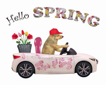 The Dog In A Red Cap Drives A Car Painted With Beautiful Pink Flowers With A Basket With Roses And Tulips. Hello Spring. White Background. Isolated.