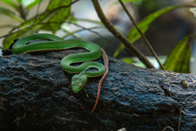 Trimeresurus Stejnegeri Green Bamboo Snakes, Very Toxic And Endemic In Asia In Thailand.