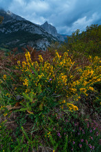 Ulex Europaeus (gorse, Common Gorse, Furze Or Whin), Liébana Valley, Cantabria, Spain, Europe