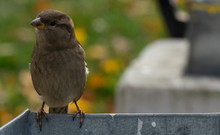 Sparrow On A Trash Can. Sparro...
