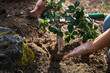 Leinwanddruck Bild - close up of hands planting a small plant or tree on the land - woman want to save the forest and the wood - agriculture and cultivating on the vegetable garden of her house