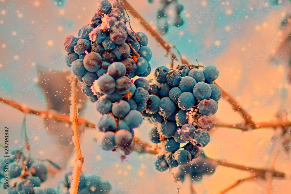 Fototapety, obrazy: Freez bunch of grapes at winter, DOF is shalow