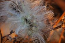 Fluffy Flower Among Dry Leaves