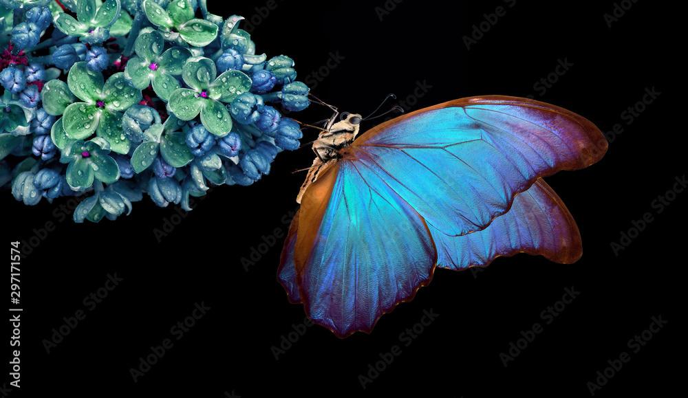 Fototapeta Beautiful blue morpho butterfly on a flower on a black background. lilac flower in dew drops isolated on black. lilac and butterfly. copy spaces.