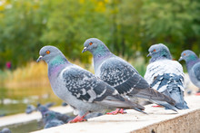Gray Pigeons Sit On The Concre...