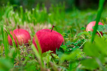 Red Apples On The Grass Under ...