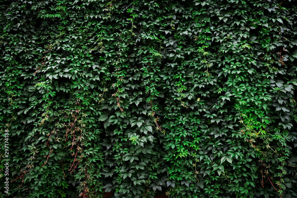 Large archival old wall covered with lush green ivy plants (high details).