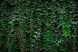 Leinwanddruck Bild - Large archival old wall covered with lush green ivy plants (high details).