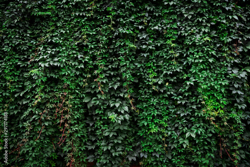 Photo Large archival old wall covered with lush green ivy plants (high details)
