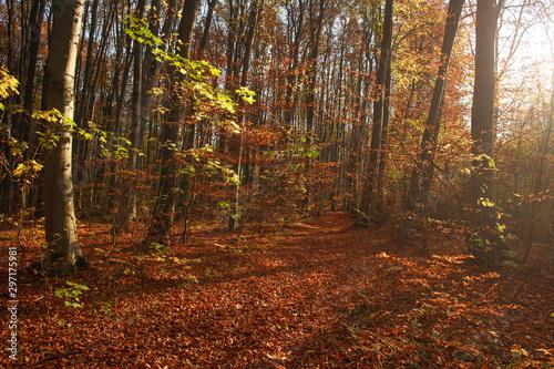 Foto auf AluDibond Violett rot Autumn forest landscape yellowed foliage of trees in sunset light