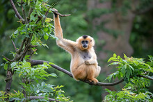 Female Yellow-cheeked Gibbon In A Tree