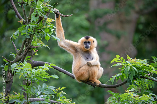 Female Yellow-cheeked gibbon in a tree - 297176337