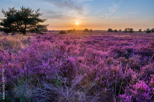 Fotomural heather in bloom