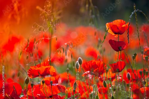 Photo sur Toile Rouge Fleurs de coquelicots en campagne dans la lumière