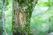 Tree With A Carved Heart