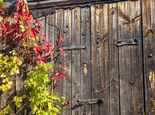 Vines Growing Up The Wall Of A...