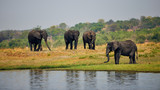 Elephants, Loxodonta africana, on the river bank.