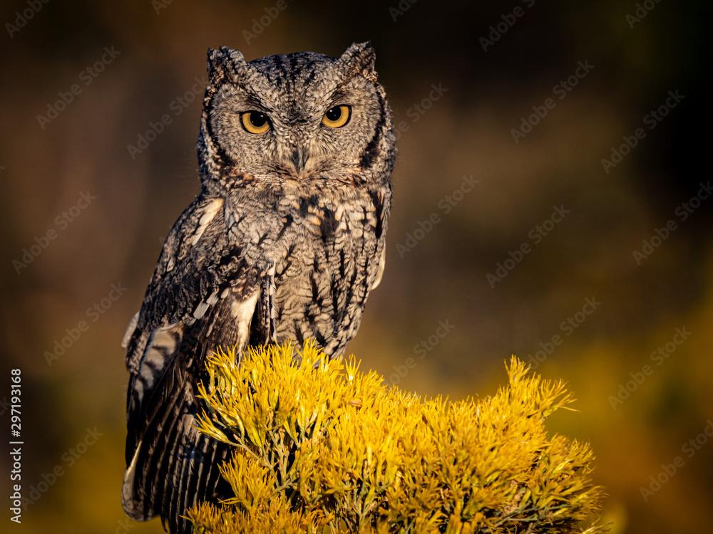 Fototapeta Screech Owl 1