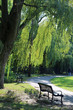 Weeping Willow tree and bench in a park