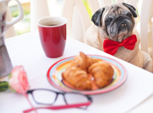A Clear Pug Dog Sitting In A Chair On The Balcony With A Red Bow Tie. Breakfast On The Table With Coffee And Croissant. The Best Friend For Everyone. Table With A Rose And Eyeglasses