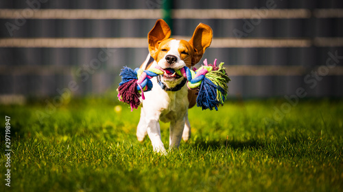 Carta da parati Beagle dog jumping and running like crazy with a toy in a outdoor towards the ca