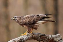 Buzzard (Buteo Buteo(perched O...