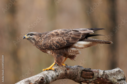 Buzzard (Buteo buteo(perched on a branch Wallpaper Mural