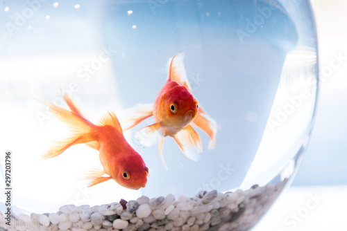 Fotografija Goldfish in Aquarium