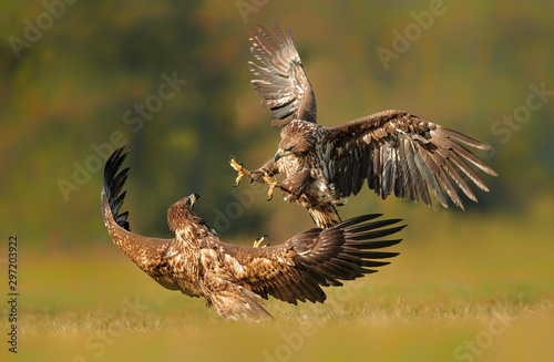 Poster Aigle White tailed eagle (Haliaeetus albicilla) fighting in autumn scenery