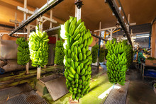 Bunches Of Banana Hanging In B...