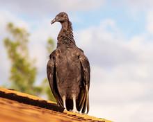 Black Vulture Bird Close Up Bl...