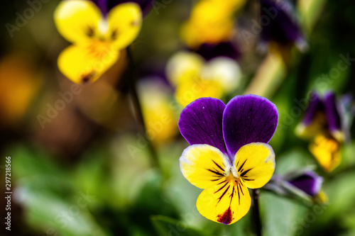 Fototapety, obrazy: Close up of beautiful yellow and purple pansy flower head