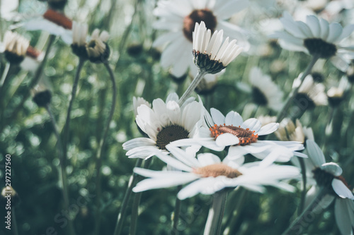 Spoed Fotobehang Bloemenwinkel daisy flower background montains garden