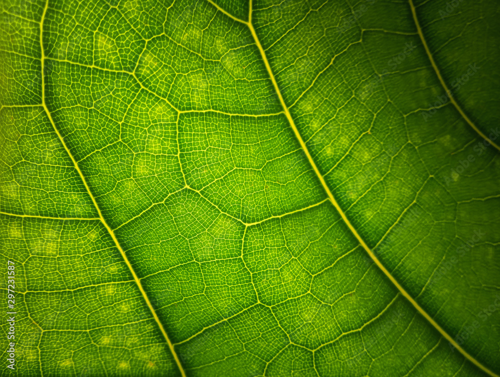 Fototapeta Green leaf macro background. Beautiful nature backdrop. Close up of textured. Environment and ecology concept, space for your design