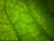 Green leaf macro background. Beautiful nature backdrop. Close up of textured. Environment and ecology concept, space for your design