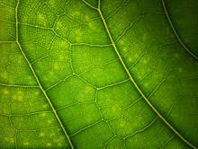 Green Leaf Macro Background. B...
