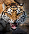 Close up view portrait of a Siberian tiger