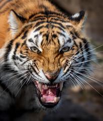 Panel Szklany Podświetlane Zwierzęta Close up view portrait of a Siberian tiger