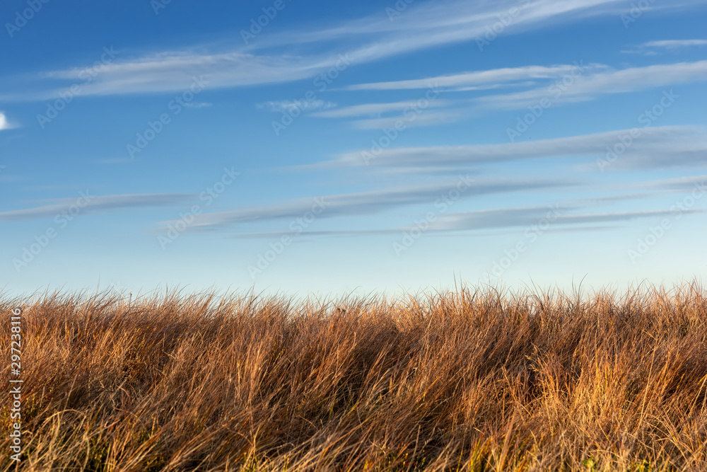 Fototapety, obrazy: Tall dry grass sway in the wind on sky background