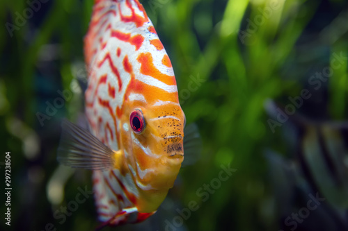 Valokuva Discus in an aquarium on a green background